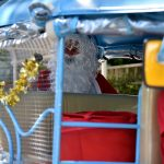 Father Christmas arrives in Thailand by tuk tuk!